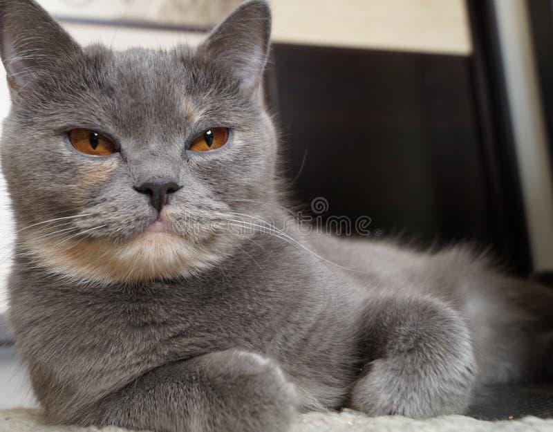 Όμορφη μεγάλη σκωτσέζικη γκρίζα γάτα που εξετάζει τη κάμερα στοκ φωτογραφία με δικαίωμα ελεύθερης χρήσης