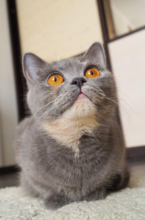 Όμορφη μεγάλη σκωτσέζικη γκρίζα γάτα που εξετάζει τη κάμερα στοκ εικόνες