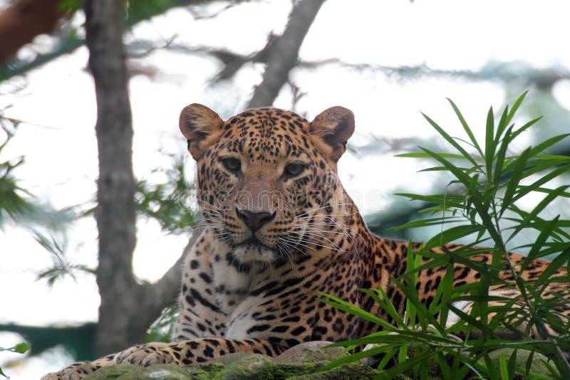 Όμορφη μεγάλη λεοπάρδαλη γατών που στηρίζεται σε ένα εθνικό πάρκο άγριας φύσης στοκ φωτογραφία με δικαίωμα ελεύθερης χρήσης