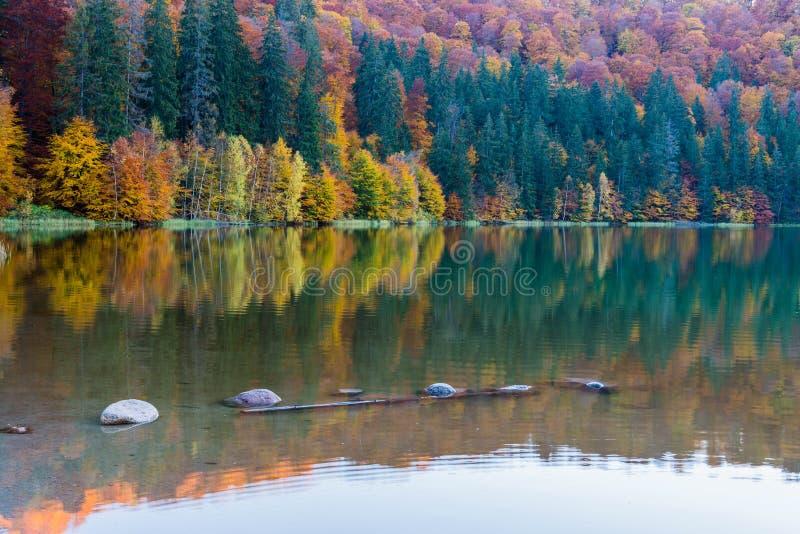 Όμορφη μοναδική vulcanic λίμνη στο φθινόπωρο, αποβαλλόμενα ζωηρόχρωμα ξύλα Αγίου Ana λιμνών που αναμιγνύονται με τα ξύλα πεύκων στοκ εικόνα