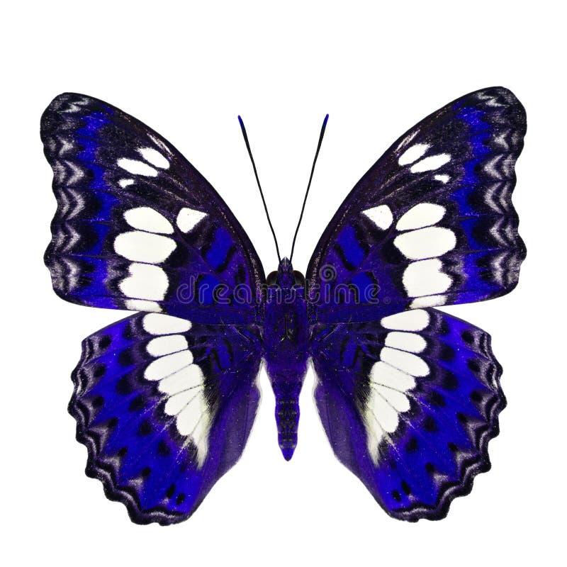 Όμορφη μπλε πεταλούδα, κοινός διοικητής (procris moduza) στα μέρη φτερών στο φανταχτερό σχεδιάγραμμα χρώματος που απομονώνεται στ στοκ εικόνες