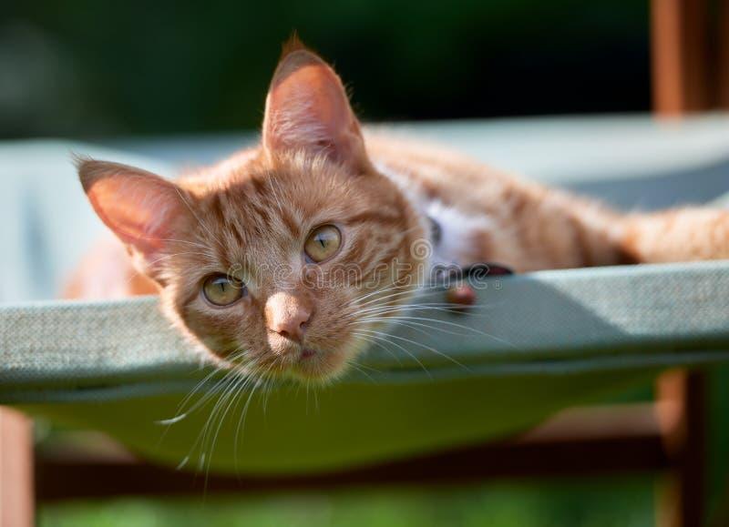 Όμορφη νέα κόκκινη τιγρέ γάτα πιπεροριζών που βάζει σε μια πράσινη καρέκλα κήπων που φαίνεται χαλαρωμένη στοκ φωτογραφίες με δικαίωμα ελεύθερης χρήσης