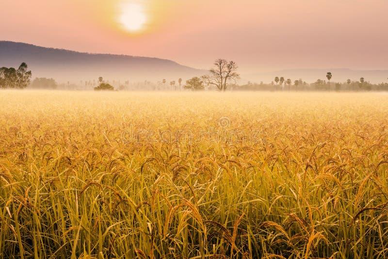 Όμορφη ομίχλη πρωινού στους τομείς ρυζιού στοκ εικόνες με δικαίωμα ελεύθερης χρήσης