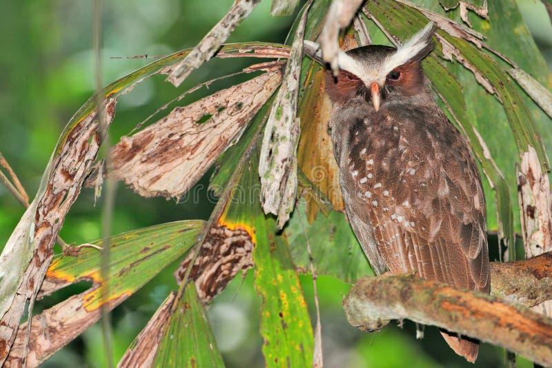 Όμορφη λοφιοφόρη κουκουβάγια του Ισημερινού στοκ φωτογραφία