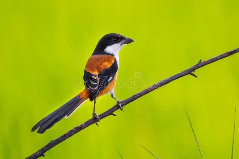 Όμορφη πίσω πλευρά με μακριά ουρά Shrike στοκ φωτογραφία με δικαίωμα ελεύθερης χρήσης