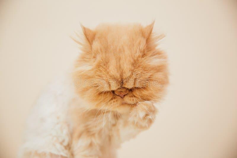 Όμορφη περσική τοποθέτηση γατών για τη κάμερα στοκ φωτογραφίες