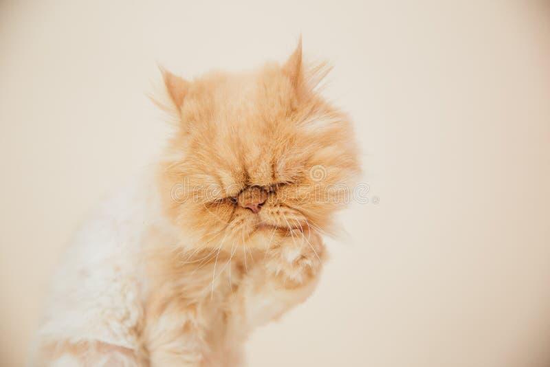 Όμορφη περσική τοποθέτηση γατών για τη κάμερα στοκ εικόνες