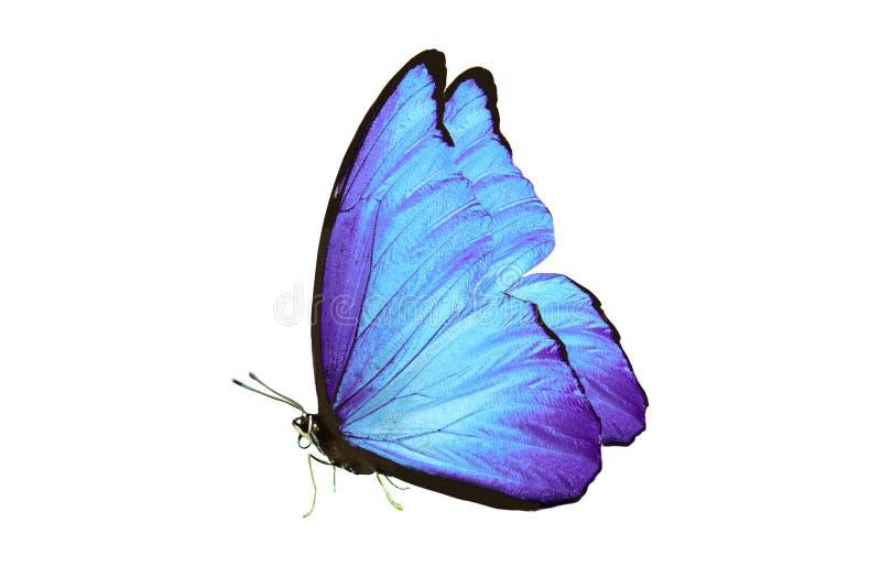 Όμορφη πεταλούδα με τα μπλε φτερά και τα πόδια η ανασκόπηση απομόνωσε το λευκό στοκ εικόνες