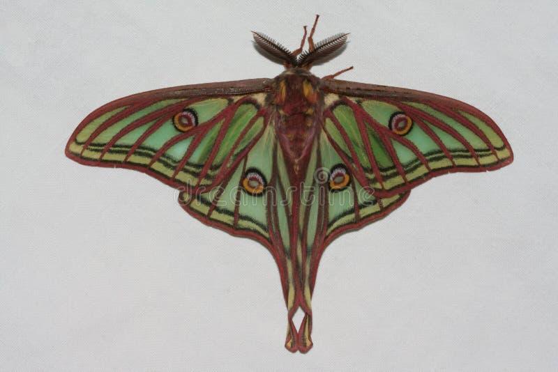 Όμορφη πεταλούδα με τις ουρές σε ένα άσπρο υπόβαθρο στοκ εικόνα με δικαίωμα ελεύθερης χρήσης