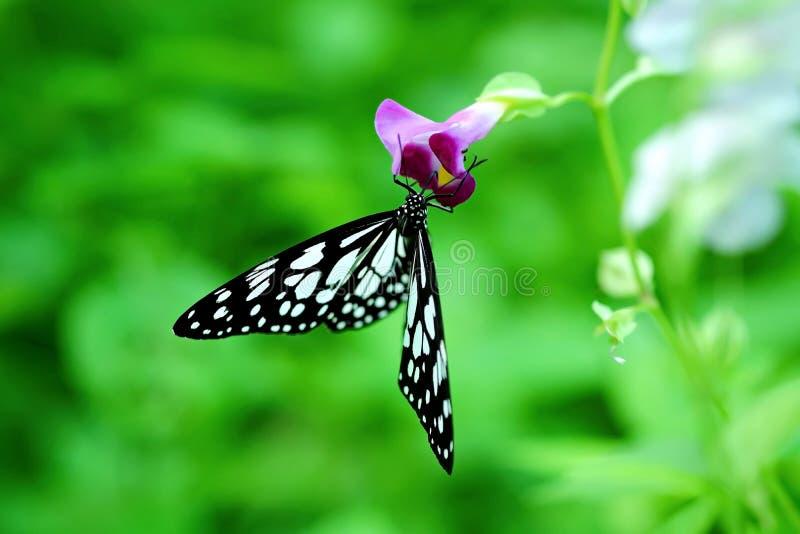 Όμορφη πεταλούδα που προσγειώνεται σε ένα πορφυρό λουλούδι στοκ φωτογραφίες με δικαίωμα ελεύθερης χρήσης