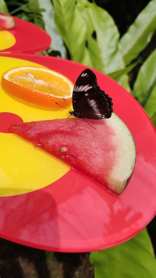 Όμορφη πεταλούδα που τρώει τα φρούτα καρπουζιών στοκ φωτογραφία με δικαίωμα ελεύθερης χρήσης