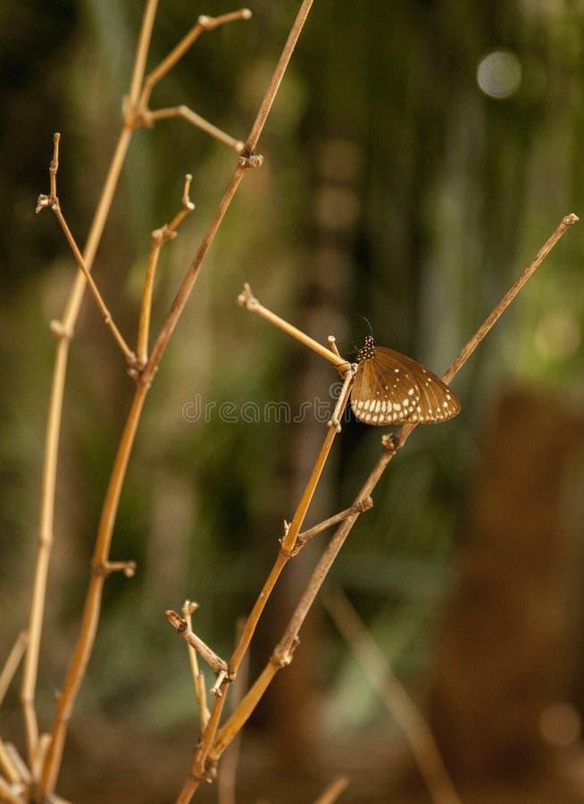 Όμορφη πεταλούδα σε καφετή στοκ φωτογραφία