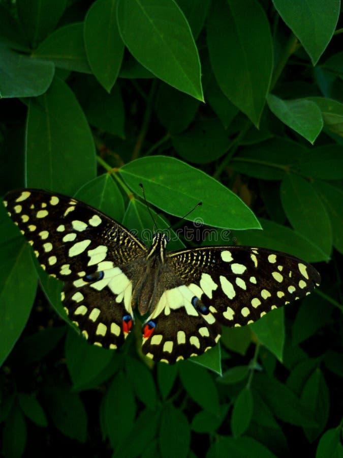 Όμορφη πεταλούδα στα φύλλα στοκ φωτογραφία