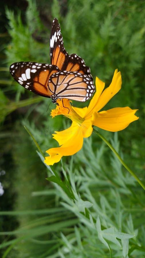 Όμορφη πεταλούδα στο κίτρινο λουλούδι από Quynh Nguyen στοκ εικόνες