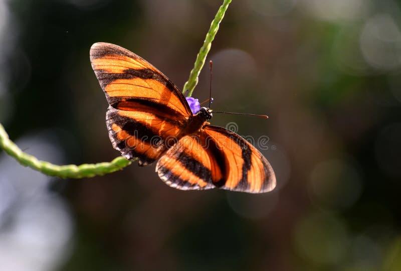 Όμορφη πεταλούδα ismenius Heliconius, καφετιά μακροεντολή πεταλούδων Eueides Isabella στοκ εικόνα με δικαίωμα ελεύθερης χρήσης