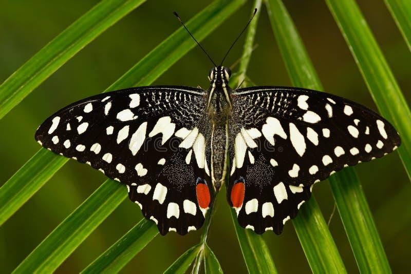 Όμορφη πεταλούδα από την Τανζανία Εσπεριδοειδή swallowtail, demodocus Papilio, που κάθεται στα πράσινα φύλλα Έντομο στο σκοτεινό  στοκ εικόνα με δικαίωμα ελεύθερης χρήσης