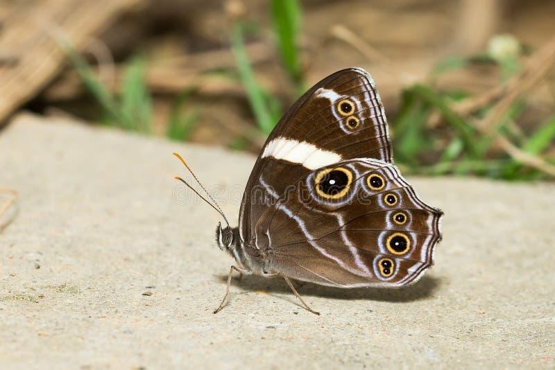 Όμορφη πεταλούδα - ενωμένο δέντρο καφετί στοκ φωτογραφία