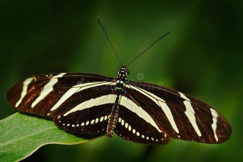 Όμορφη πεταλούδα ζέβες Longwing, charitonius Heliconius Πεταλούδα στο βιότοπο φύσης Έντομο της Νίκαιας από τη Κόστα Ρίκα Πεταλούδ στοκ φωτογραφίες