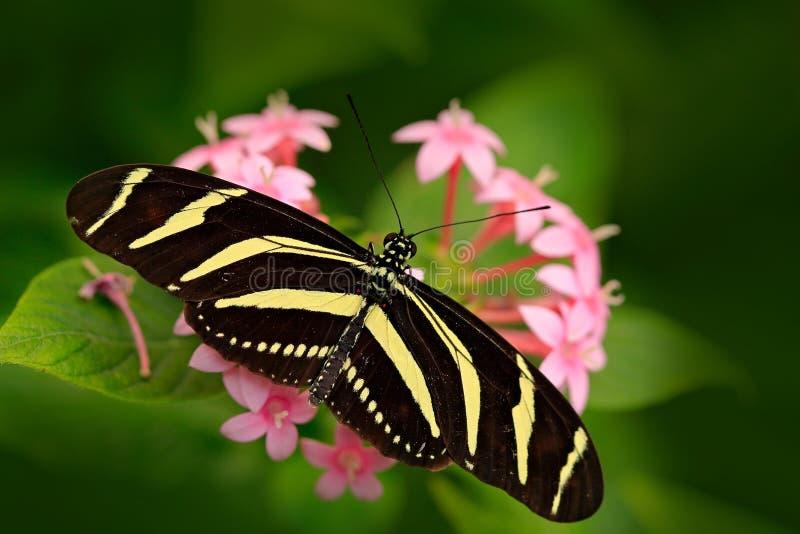 Όμορφη πεταλούδα ζέβες Longwing, charitonius Heliconius Πεταλούδα στο βιότοπο φύσης Έντομο της Νίκαιας από τη Κόστα Ρίκα Πεταλούδ στοκ εικόνες με δικαίωμα ελεύθερης χρήσης