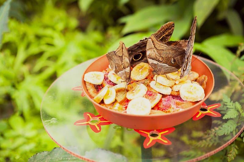 Όμορφη πεταλούδα κουκουβαγιών που τρώει τα φρούτα στοκ εικόνες