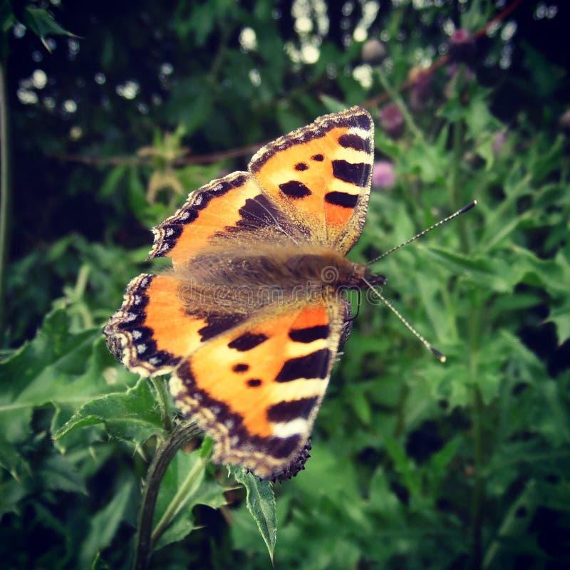 Όμορφη πεταλούδα στοκ φωτογραφία