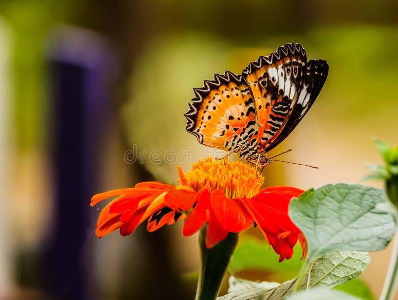 Όμορφη πεταλούδα Fritillary Κόλπων που τίθεται σε μια κόκκινη τροφοδότηση λουλουδιών στοκ εικόνα