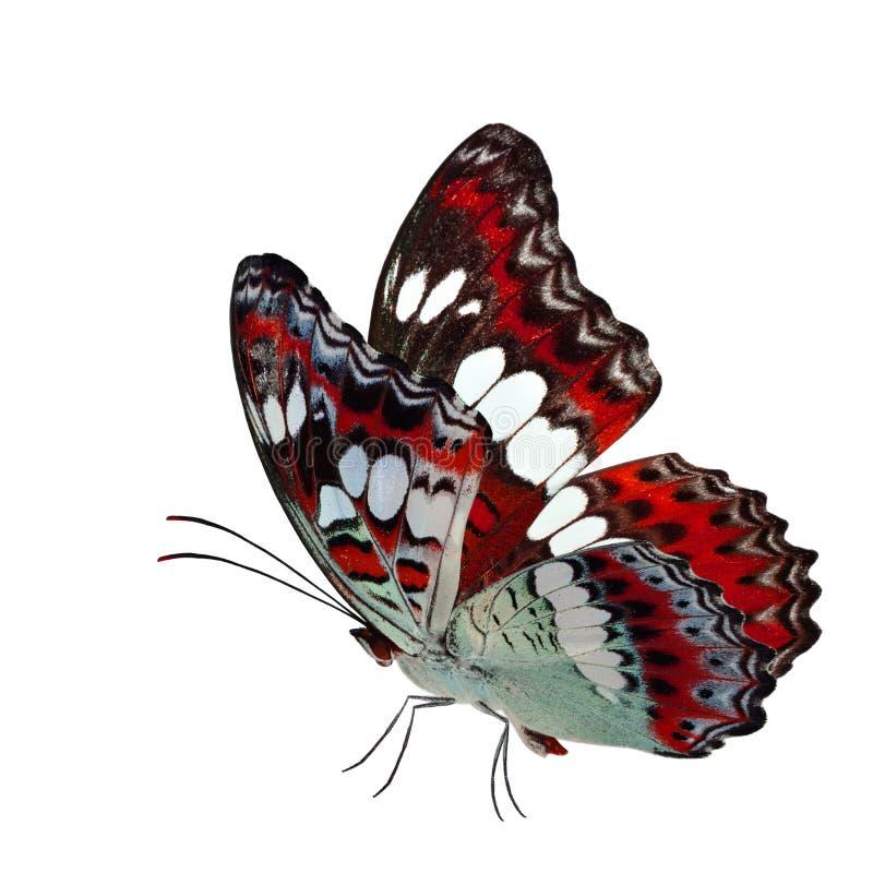 Όμορφη πετώντας κόκκινη πεταλούδα, κοινός διοικητής (procris moduza) με τα τεντωμένα φτερά στο φανταχτερό σχεδιάγραμμα χρώματος π στοκ εικόνες