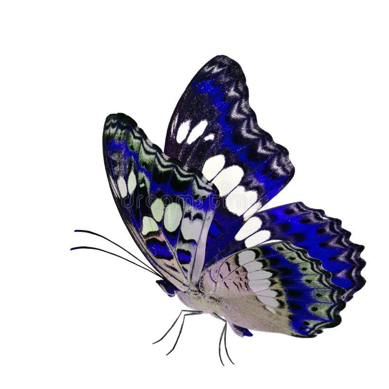 Όμορφη πετώντας μπλε πεταλούδα, κοινός διοικητής (procris moduza) με τα τεντωμένα φτερά στο φανταχτερό σχεδιάγραμμα χρώματος που  στοκ φωτογραφία με δικαίωμα ελεύθερης χρήσης
