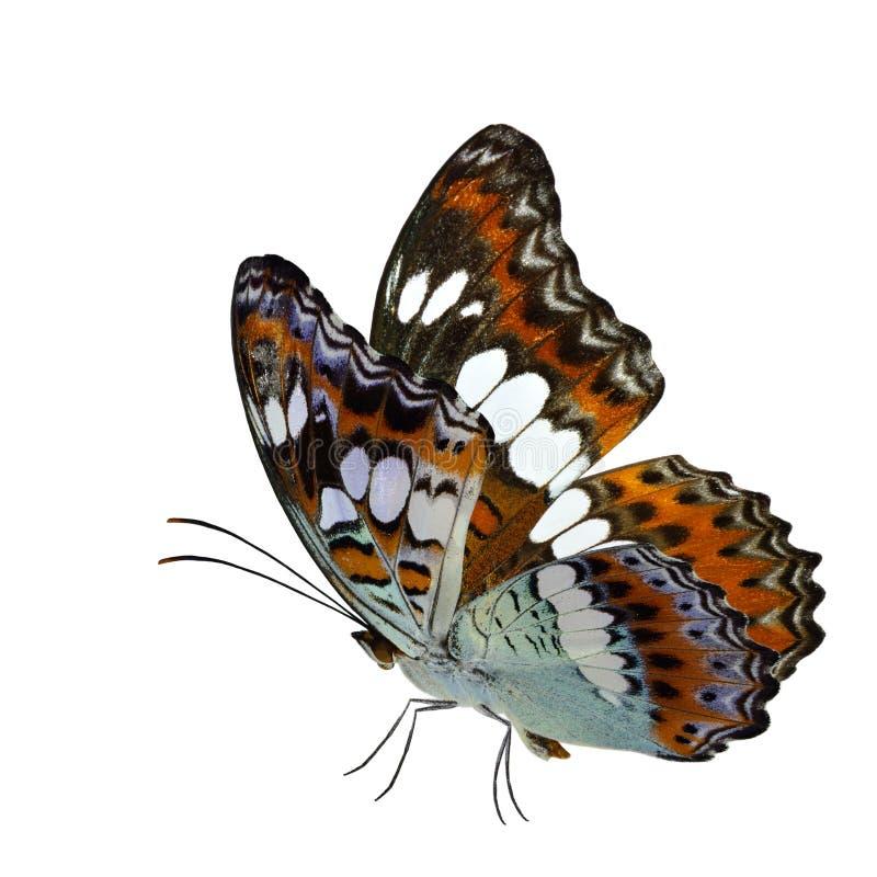 Όμορφη πετώντας πεταλούδα, κοινά WI διοικητών (procris moduza) στοκ φωτογραφία με δικαίωμα ελεύθερης χρήσης