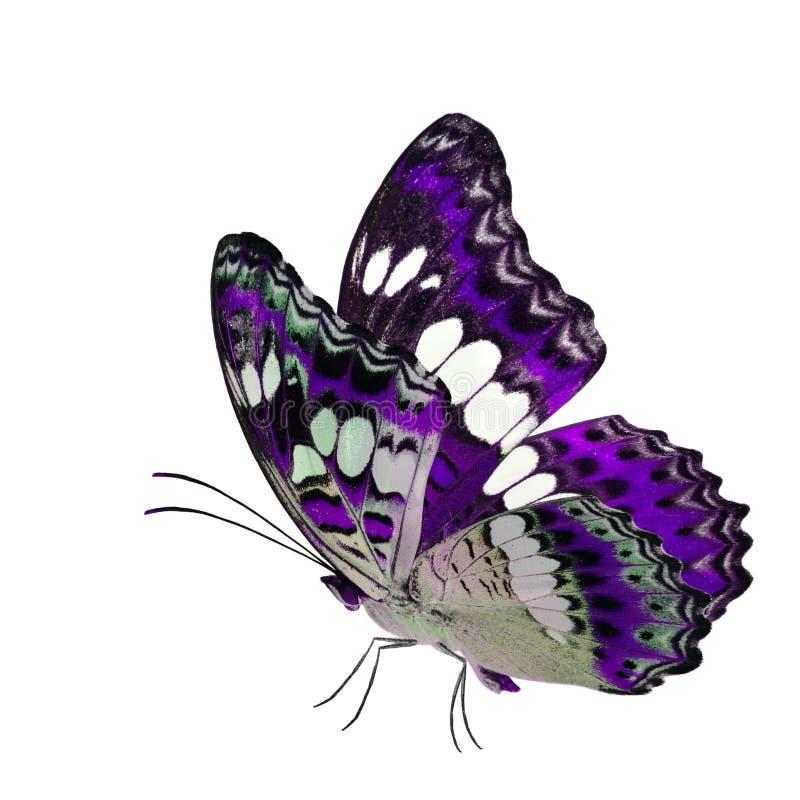 Όμορφη πετώντας πορφυρή πεταλούδα, κοινός διοικητής (procris moduza) με τα τεντωμένα φτερά στο φανταχτερό σχεδιάγραμμα χρώματος π στοκ εικόνες