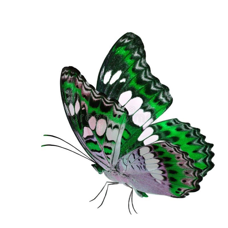 Όμορφη πετώντας πράσινη πεταλούδα, κοινός διοικητής (procris moduza) με τα τεντωμένα φτερά στο φανταχτερό σχεδιάγραμμα χρώματος π στοκ εικόνα με δικαίωμα ελεύθερης χρήσης
