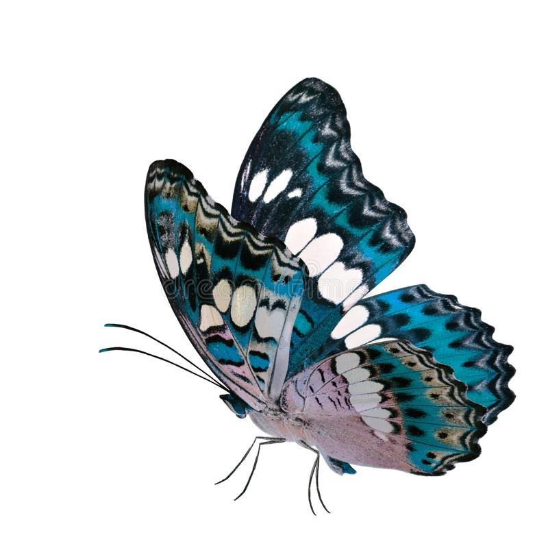 Όμορφη πετώντας τυρκουάζ μπλε πεταλούδα, κοινός διοικητής (procris moduza) με τα τεντωμένα φτερά στο φανταχτερό σχεδιάγραμμα χρώμ στοκ εικόνες