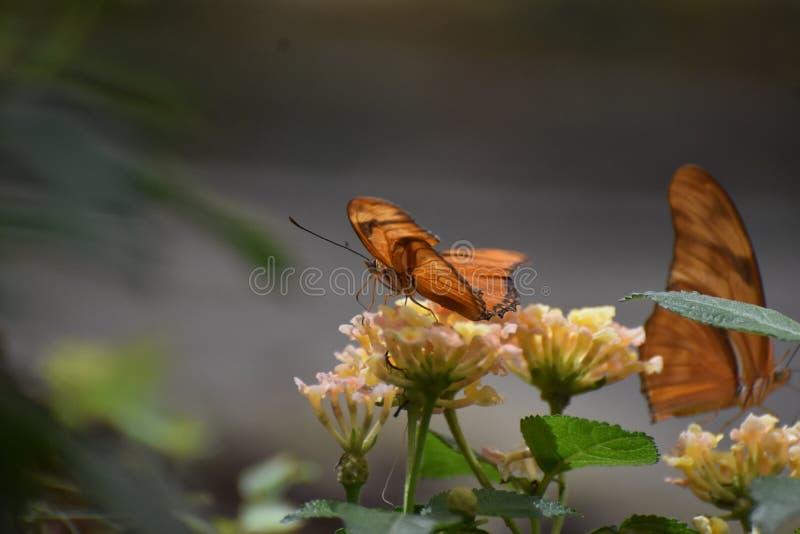 Όμορφη πορτοκαλιά πεταλούδα Fritillary Κόλπων στα λουλούδια στοκ φωτογραφίες με δικαίωμα ελεύθερης χρήσης