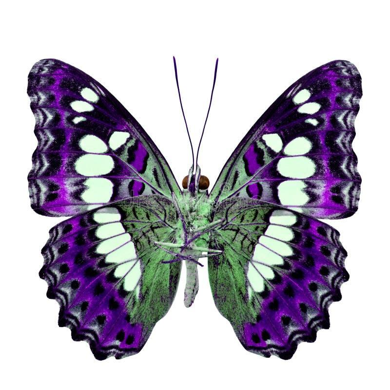 Όμορφη πορφυρή πεταλούδα, τα κοινά Η.Ε διοικητών (procris moduza) στοκ εικόνες με δικαίωμα ελεύθερης χρήσης