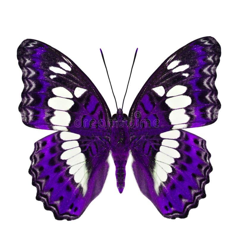 Όμορφη πορφυρή πεταλούδα, τα κοινά Η.Ε διοικητών (procris moduza) στοκ φωτογραφία