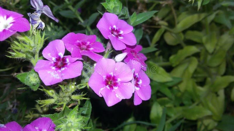 όμορφη πορφύρα λουλουδιών στοκ φωτογραφίες