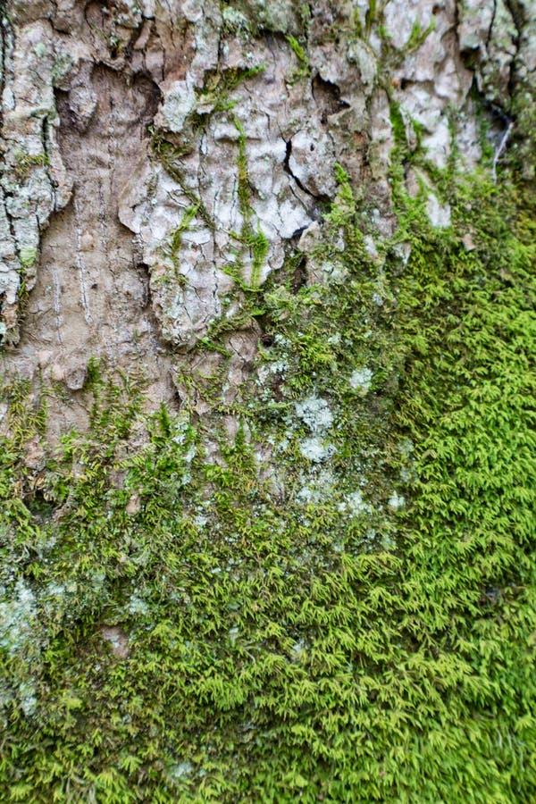 Όμορφη πράσινη ανάπτυξη βρύου χρωματισμένο στο φως φλοιό δέντρων στοκ φωτογραφία με δικαίωμα ελεύθερης χρήσης