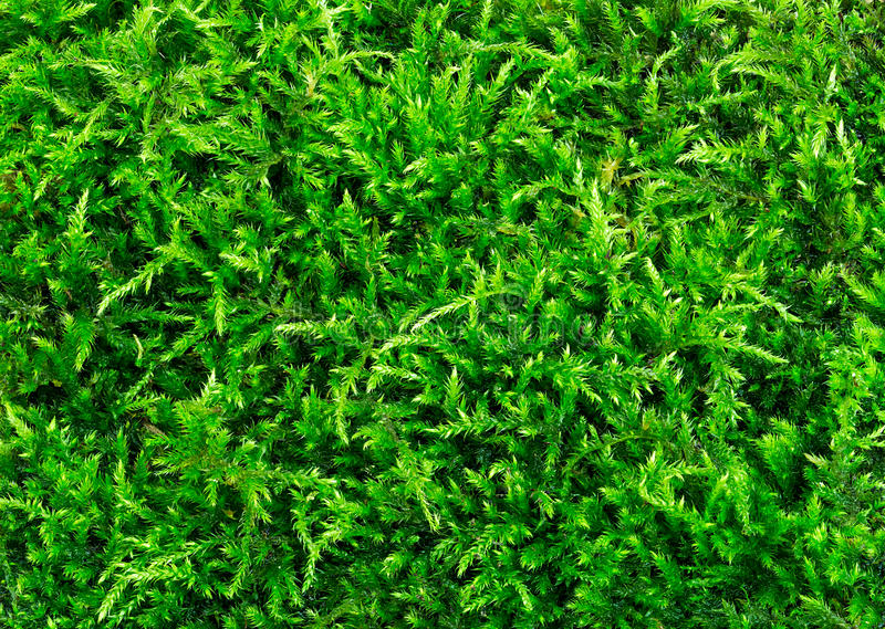 Download Όμορφη πράσινη κινηματογράφηση σε πρώτο πλάνο σύστασης βρύου, υπόβαθρο με το διάστημα αντιγράφων Στοκ Εικόνα - εικόνα από υπαίθριος, παλαιός: 62702939
