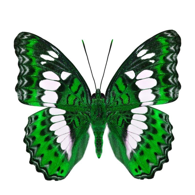 Όμορφη πράσινη πεταλούδα, κοινός διοικητής (procris moduza) στα μέρη φτερών στο φανταχτερό σχεδιάγραμμα χρώματος που απομονώνεται στοκ φωτογραφίες με δικαίωμα ελεύθερης χρήσης