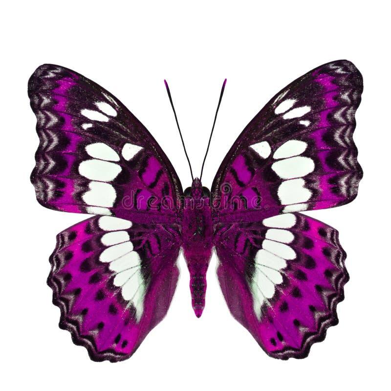 Όμορφη ρόδινη πεταλούδα, κοινός διοικητής (procris moduza) στα μέρη φτερών στο φανταχτερό σχεδιάγραμμα χρώματος που απομονώνεται  στοκ εικόνα