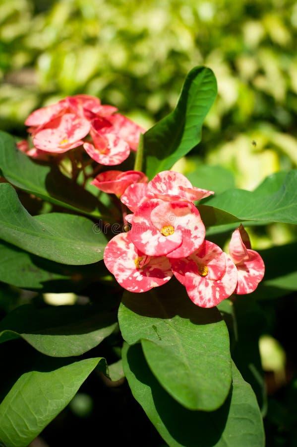 Όμορφη ρόδινη ευφορβία ή κορώνα του λουλουδιού αγκαθιών στοκ φωτογραφίες