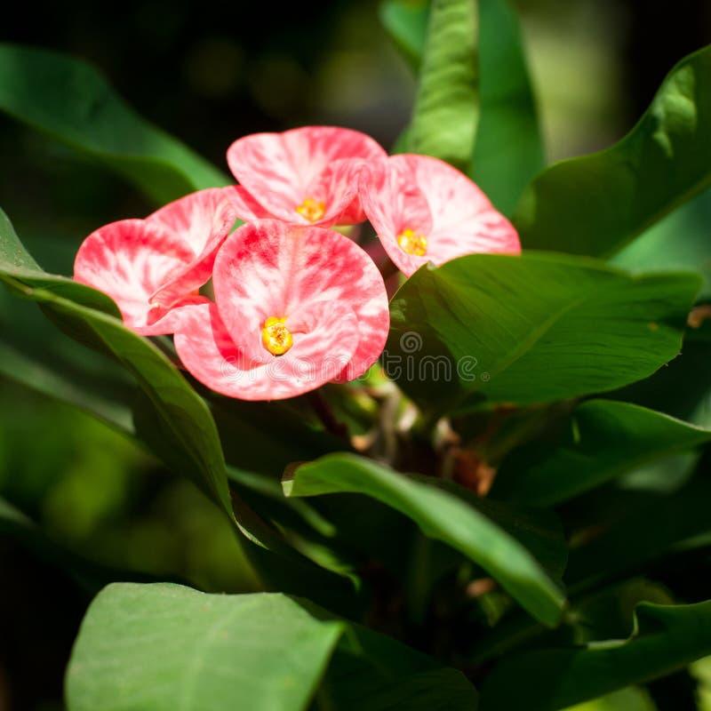 Όμορφη ρόδινη ευφορβία ή κορώνα του λουλουδιού αγκαθιών στοκ εικόνα