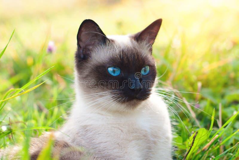 Όμορφη σιαμέζα καθαρής φυλής γάτα με τα μπλε μάτια στοκ εικόνα