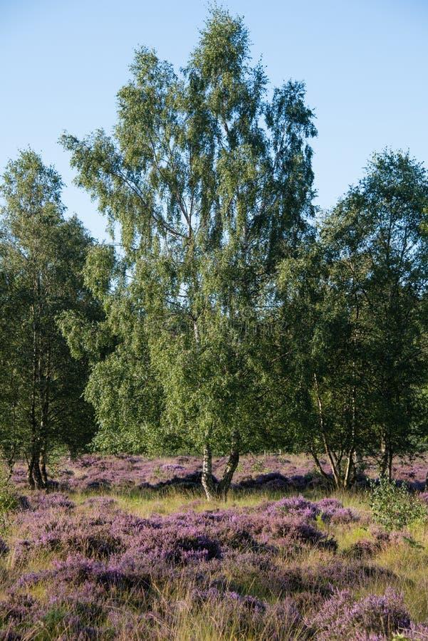 Όμορφη σκηνή λαντ των δέντρων ενάντια στην πορφυρή ερείκη στοκ φωτογραφία με δικαίωμα ελεύθερης χρήσης