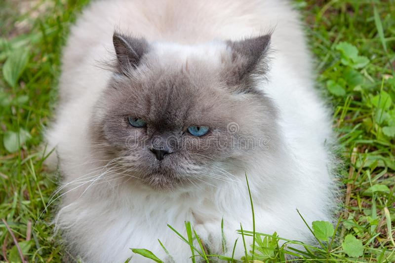 Όμορφη σοβαρή χνουδωτή γάτα με τα μπλε μάτια στοκ εικόνες
