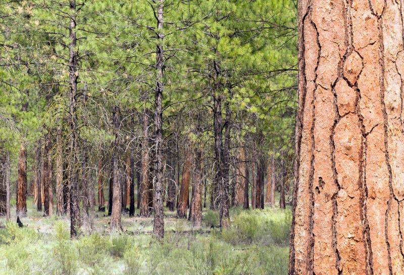 Όμορφη στάση της κομητείας του Όρεγκον Deschutes κάμψεων δέντρων στοκ εικόνες