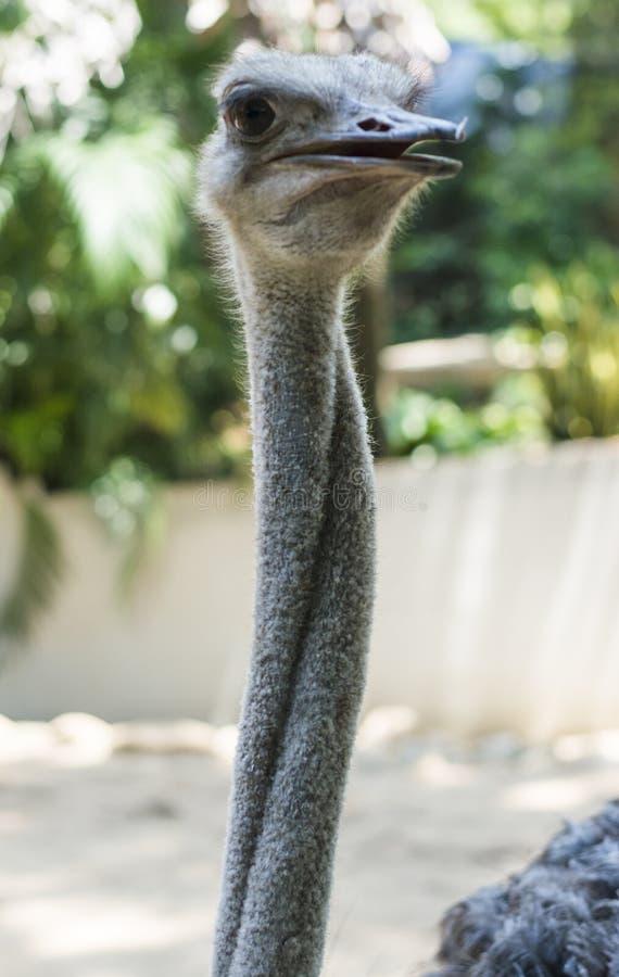 Όμορφη στρουθοκάμηλος στο ζωολογικό κήπο στοκ φωτογραφίες με δικαίωμα ελεύθερης χρήσης