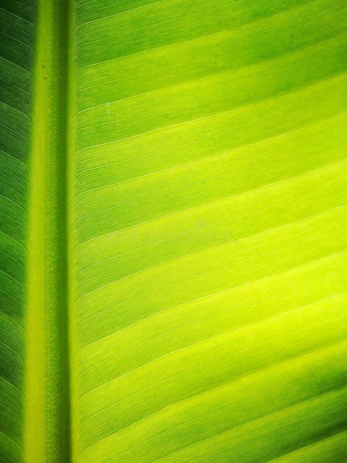 Όμορφη σύσταση από τα πράσινα φρέσκα φύλλα μπανανών με το φως πρωινού στην επιφάνεια Τέλεια φύση σχεδίων, σχέδιο ταπετσαριών στοκ φωτογραφία με δικαίωμα ελεύθερης χρήσης