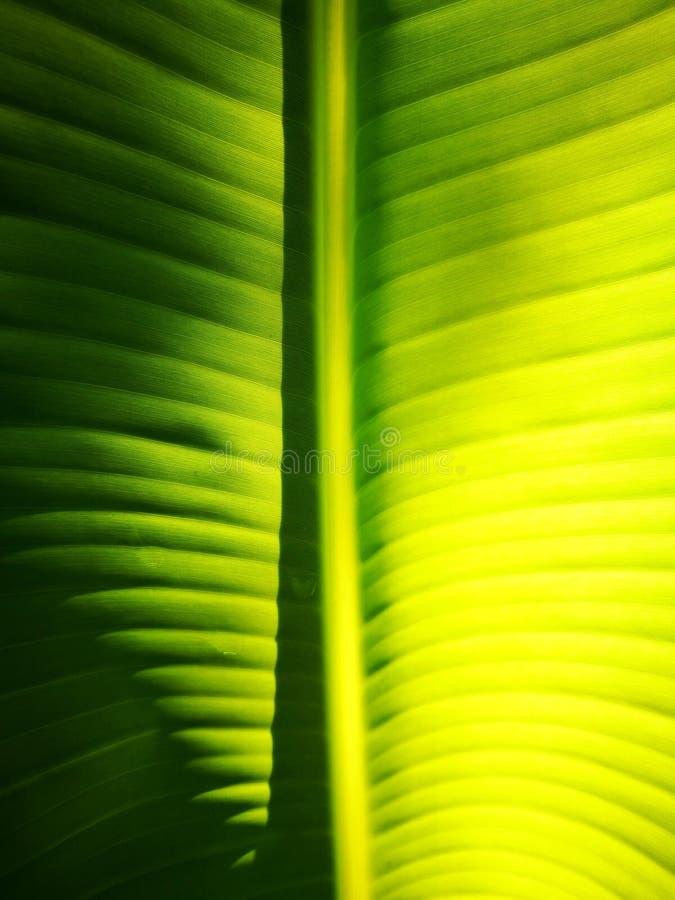 Όμορφη σύσταση από τα πράσινα φρέσκα φύλλα μπανανών με το φως πρωινού στην επιφάνεια Τέλεια φύση σχεδίων, σχέδιο ταπετσαριών στοκ εικόνες