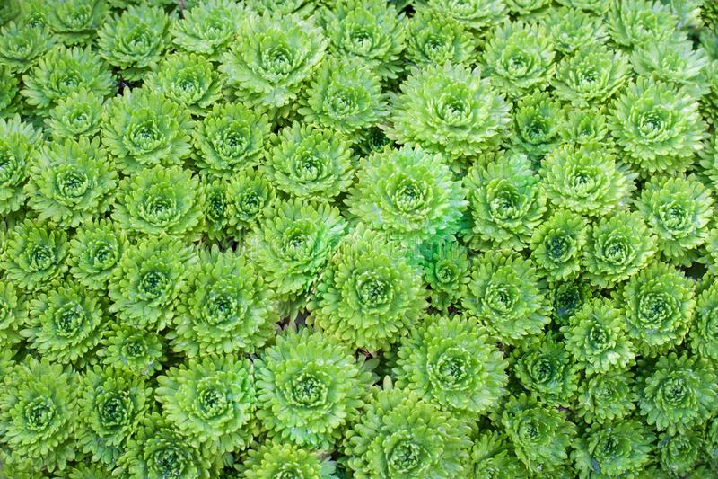 Όμορφη σύσταση Διακοσμητική πράσινη κινηματογράφηση σε πρώτο πλάνο βρύου στοκ εικόνα